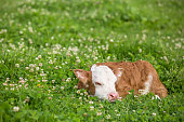 Close-up side view of a newborn brown and white Hereford calf sleeping in the pasture full of blooming white clover. The calf's body is mostly brown and it's face is mostly white with brown ears.