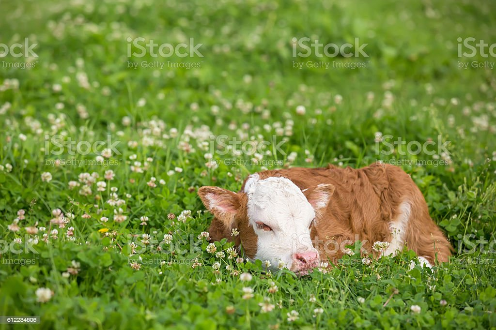 Close-Up of Brown & White Hereford Calf Sleeping in Clover stock photo