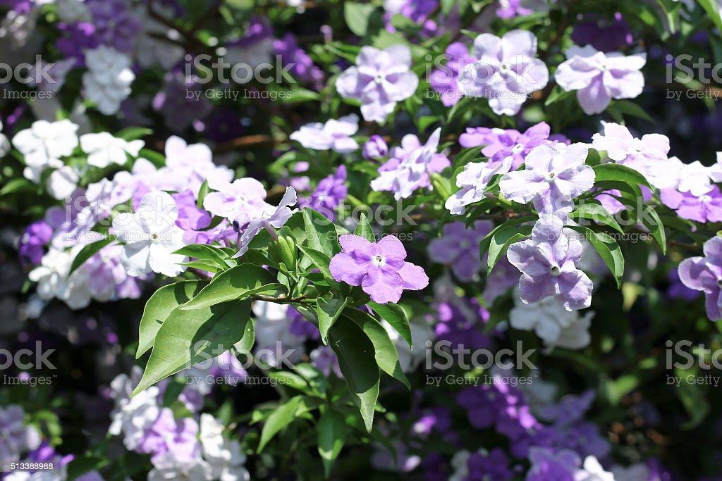 Closeup of Brunfelsia uniflora flower stock photo
