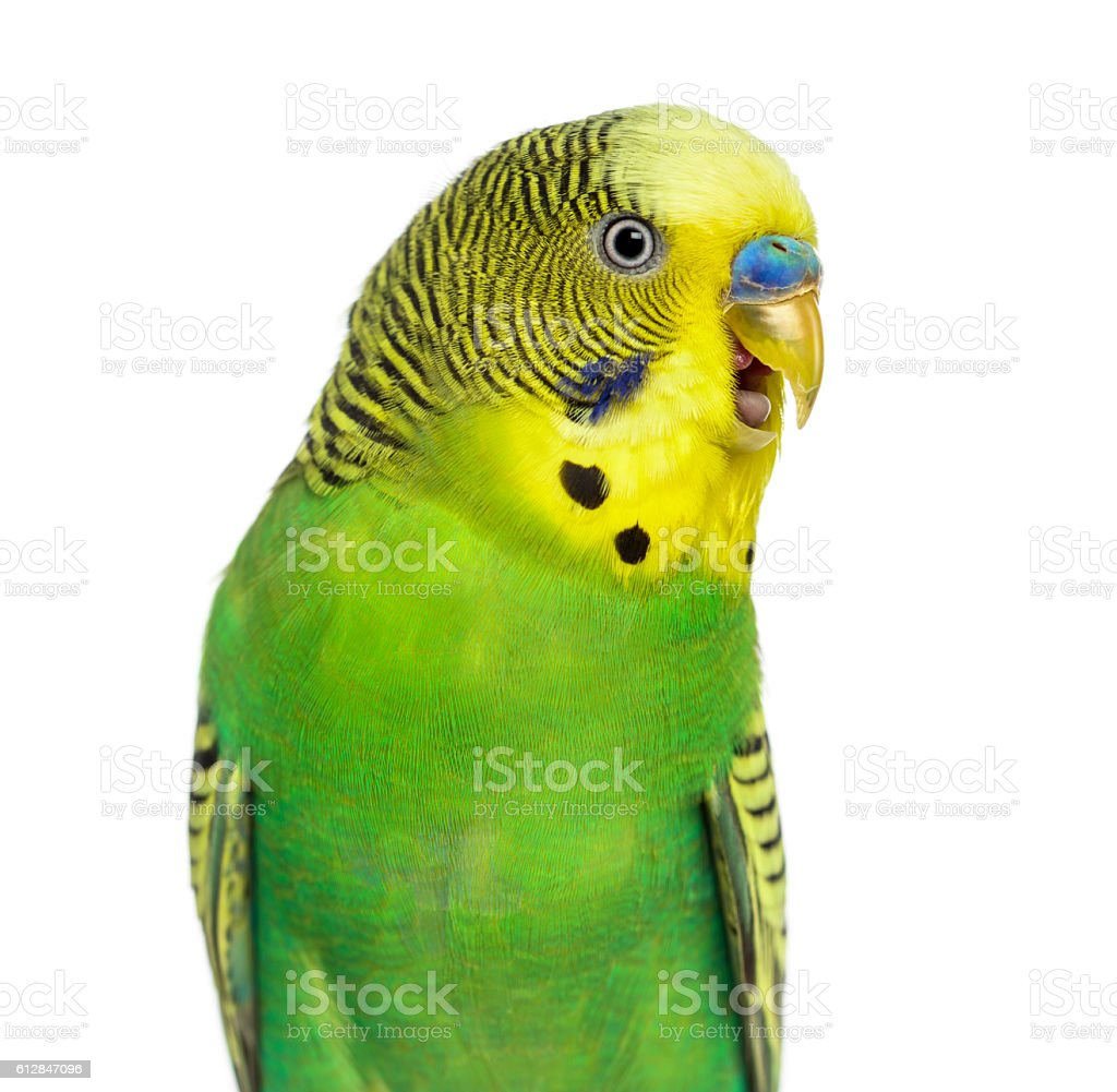 Close-up of Budgie with beak open on white background stock photo