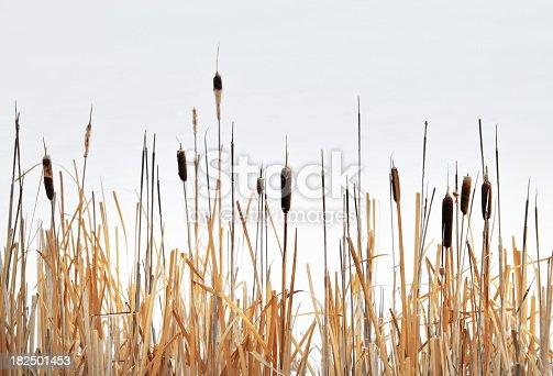 Bulrush plants against the sky.