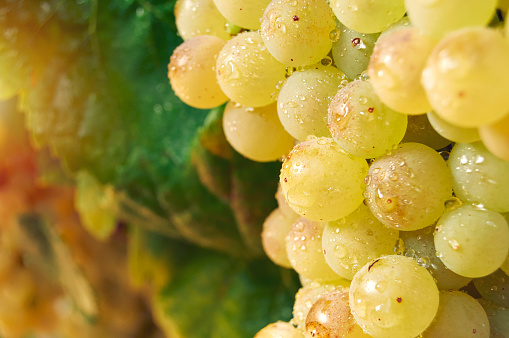 Close-up of bunch of ripe grapes with water drops. Fruit of vineyard strain.