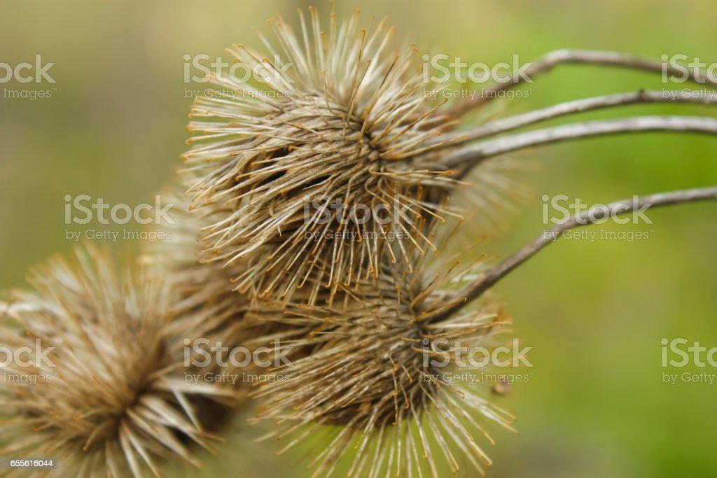 Closeup of Burdock Burs - foto stock