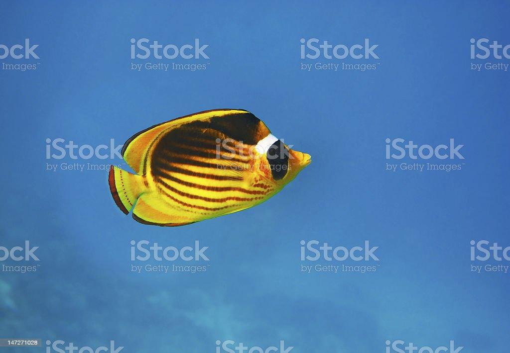 Closeup of butterfly fish - underwater shot stock photo