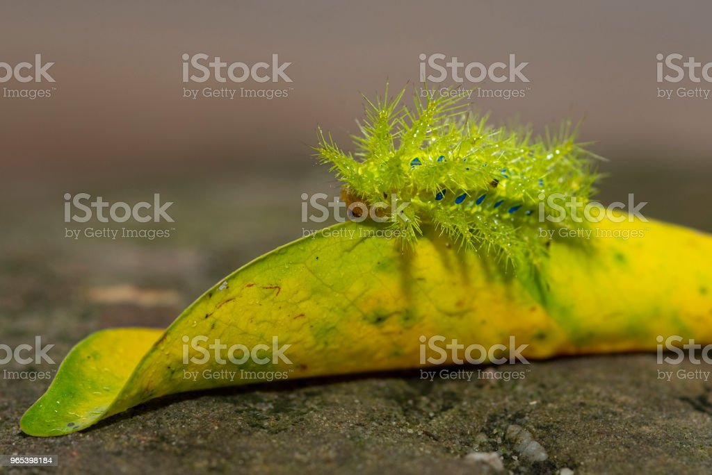 Closeup of butterfly larvae green. royalty-free stock photo