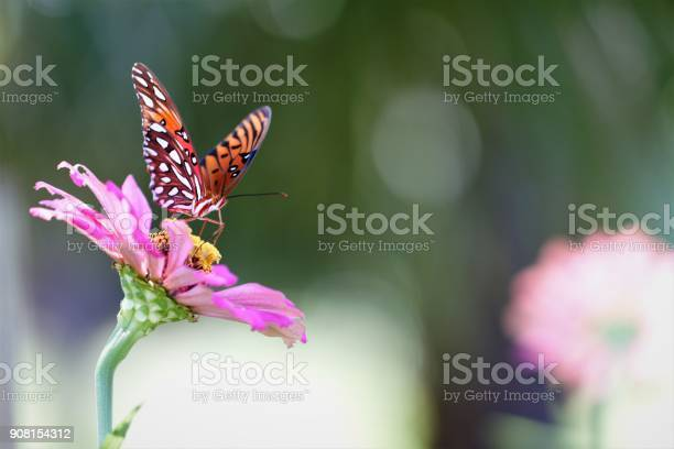 Closeup of butterfly on pink zinnia with lots of copyspace defocused picture id908154312?b=1&k=6&m=908154312&s=612x612&h=iwget3mehosom3vgqcnplyvhmt bji1t5kejdy5bmz4=