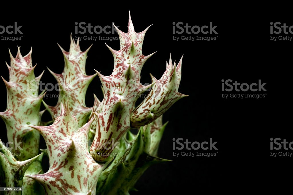 Closeup of Cactus Huernia on black background stock photo