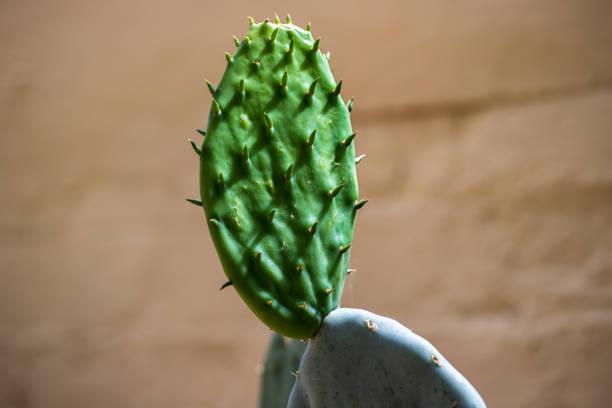 Nahaufnahme der tropischen Kaktuspflanze mit scharfen Stacheln – Foto