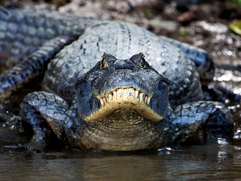 Brazilian aligator photographed during the wet seaon