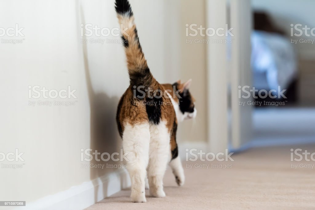 Closeup of calico cat back walking showing tail butt, hind legs on carpet floor curious in hall hallway to bedroom in home room, bed stock photo