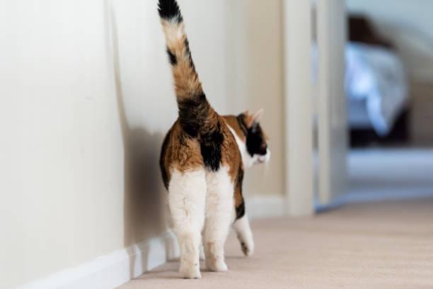 Closeup de calicó gato detrás caminando mostrando trasero de cola, las patas traseras en el piso de alfombra curiosa en el pasillo de salón para dormitorio de hogar, cama - foto de stock