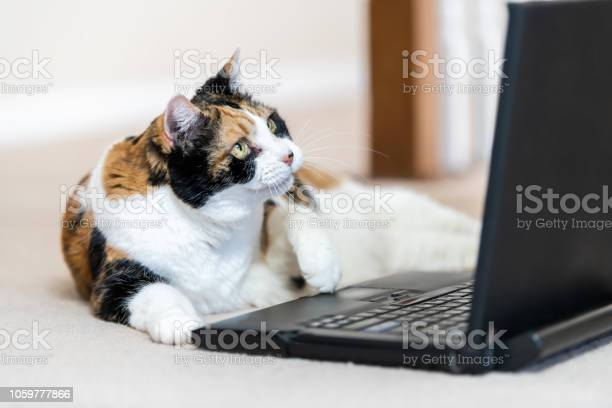 Closeup of calico cat curious looking at laptop notebook computer pc picture id1059777866?b=1&k=6&m=1059777866&s=612x612&h=brr4t8oxkqn2tbcf2scspjezvb1ilgjc8hw cl3wjh0=