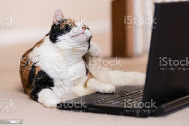 Closeup of calico cat curious looking at laptop touching mouse up picture id1147858374?b=1&k=6&m=1147858374&s=612x612&h=4mbzyass2pnyjsp7ao2brvjco6a8ktrybxgpuqot6m8=