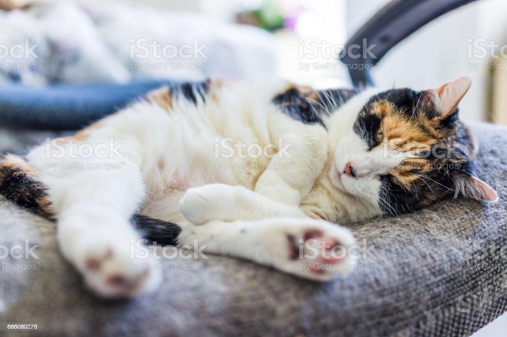 Closeup de gato malhado deitado enrolado em cadeira com cauda sob o pé de pata e derramamento do cabelo - foto de acervo