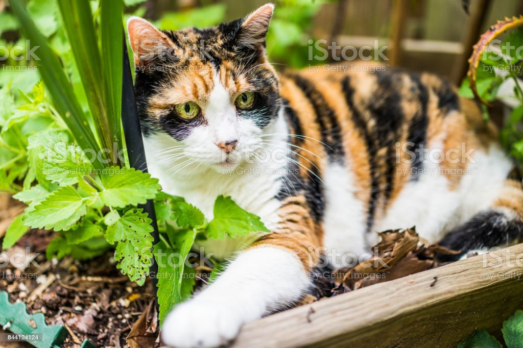 Calico Cat With Interesting Gps >> Closeup Of Calico Cat Lying In Bed Of Catnip Greens Plant In Outdoor
