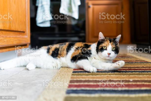Closeup of calico cat on kitchen room indoor interior carpet grooming picture id974311392?b=1&k=6&m=974311392&s=612x612&h=86yiwxv08xeteqebq0s mztiild33yrdapdrklgkivs=