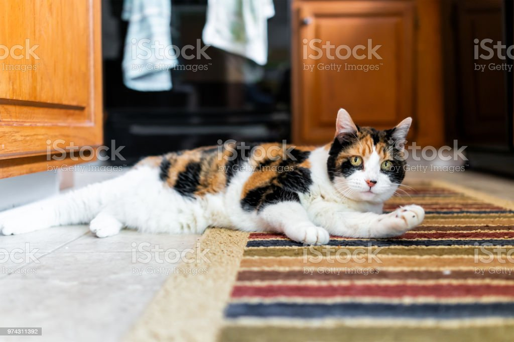 Closeup of calico cat on kitchen room indoor interior carpet grooming one paw distracted lying down by wooden cabinets, hanging towels stock photo