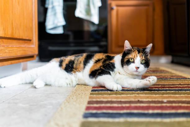 nahaufnahme von glückskatze auf küche indoor innenraum teppich pflege einer pfote abgelenkt liegend durch hölzerne schränke hängen handtücher - katzenschrank stock-fotos und bilder