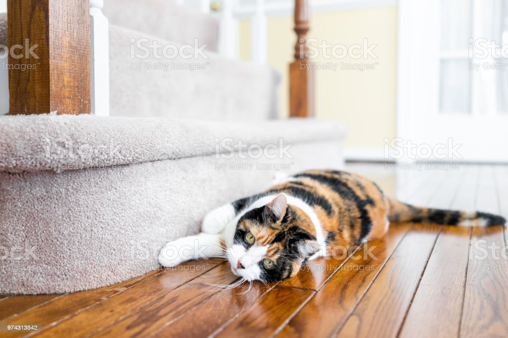 Closeup Of Calico Cat Scratching Nails On Carpet Floor Steps Stairs  Staircase Inside Indoor House,