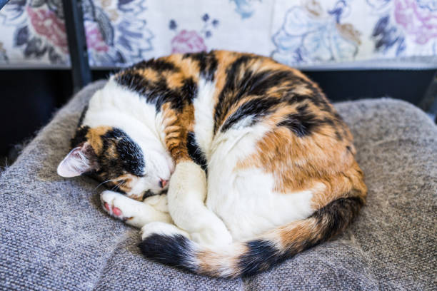 Closeup of calico cat sleeping lying curled up in chair with tail around body and shedding hair Closeup of calico cat sleeping lying curled up in chair with tail around body and shedding hair tortoiseshell cat stock pictures, royalty-free photos & images