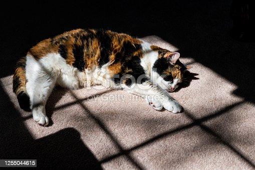 Closeup of calico short hair cat orange fur on carpet floor lying down sleeping inside interior indoor house room in sunlight window with paws