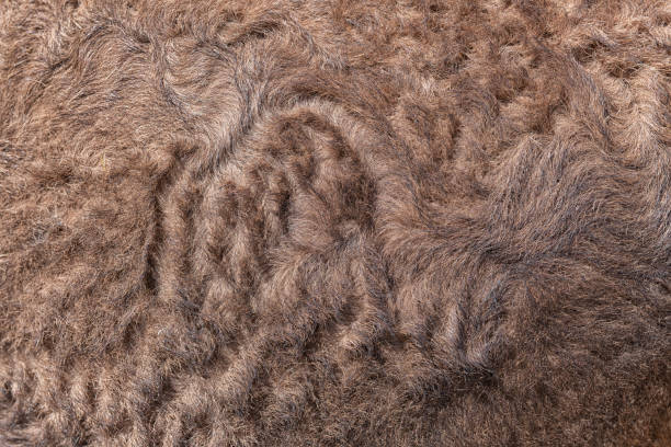 Closeup of camel brown fur. stock photo