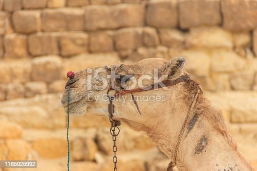 883177796istockphoto Close-up of camel on the Giza pyramid background 1165025992