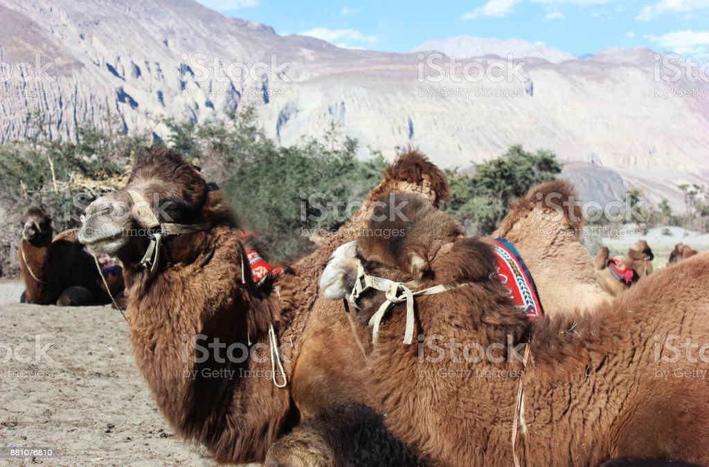 Closeup of Camels : Bactrian camel stock photo