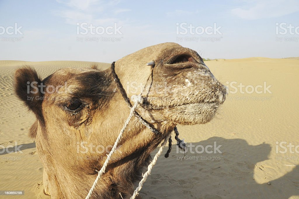 Close-up Of Camel's Head royalty-free stock photo