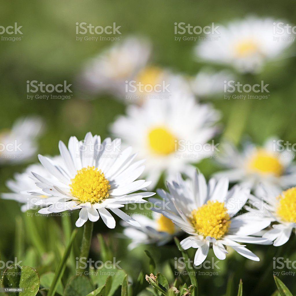 Close-up of camomile royalty-free stock photo