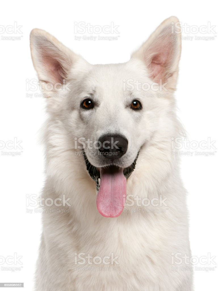 Close-up of Canadian Shepherd dog, 1 year old, in front of white background stock photo