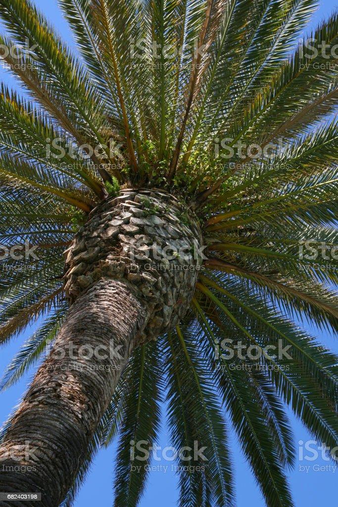 Gros plan du palmier dattier des îles Canaries, qui est aussi appelé Palm roi des Dates en raison de sa couronne qui peut atteindre jusqu'à une centaine de plumes vertes feuilles. photo libre de droits