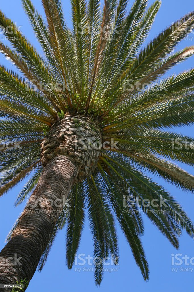 Close-up of Canary Island date palm, which is also called Palm King of the Dates due to its crown that can grow up to one hundred green feather leaves. royalty-free stock photo
