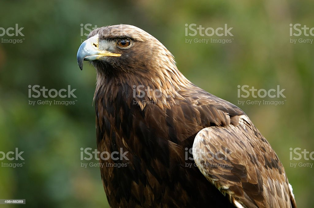 Close-up di prigionieri Golden Eagle - foto stock