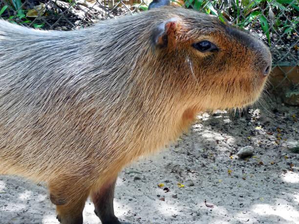 Close-up of Capybara at Ardastra Gardens, Nassau Bahamas stock photo