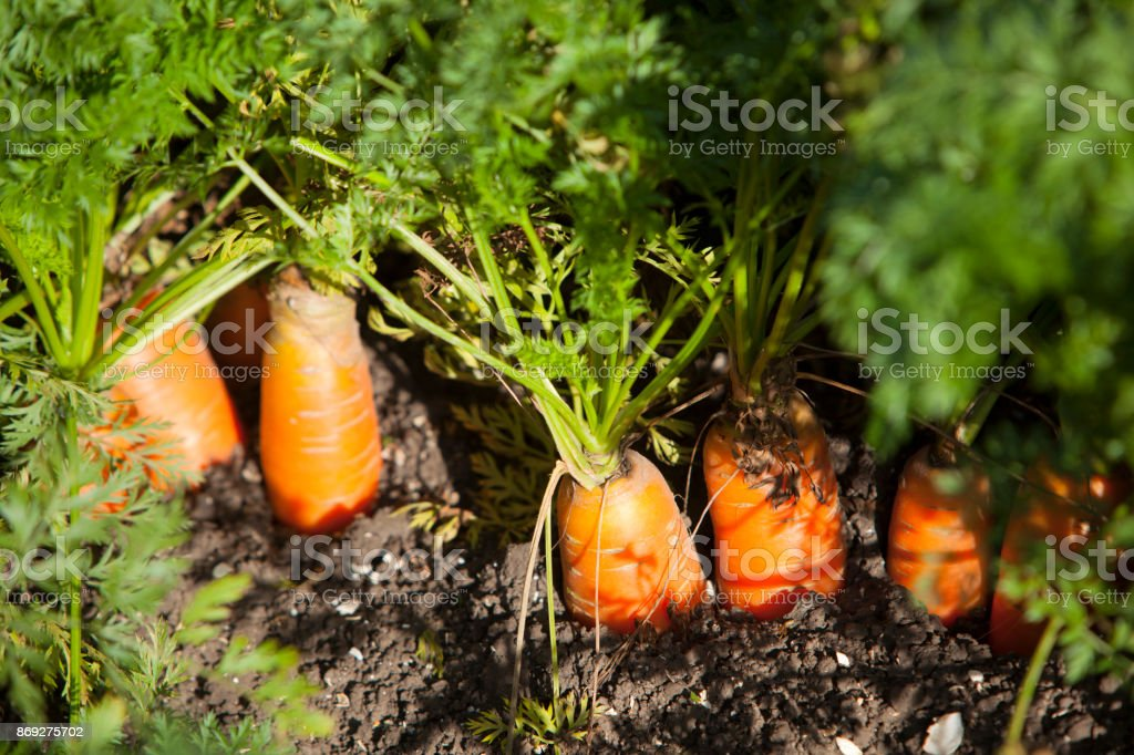 closeup of carrots in soil of field in the netherlands stock photo