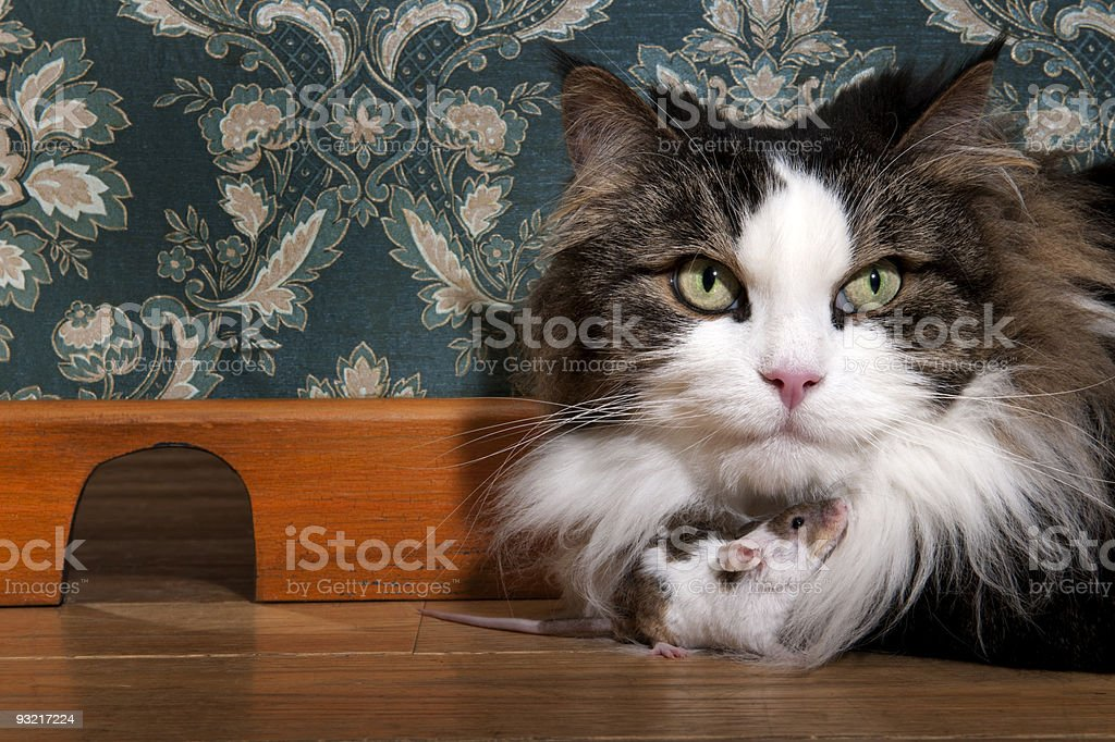 Close-up of cat and mouse together on wooden floor indoors stock photo
