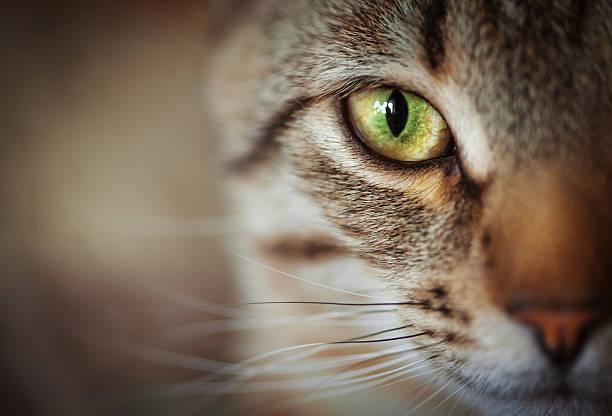Closeup of cat face. Fauna background stock photo