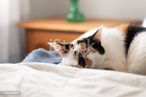 Closeup of pretty cat calico cat on cozy white bed in natural light