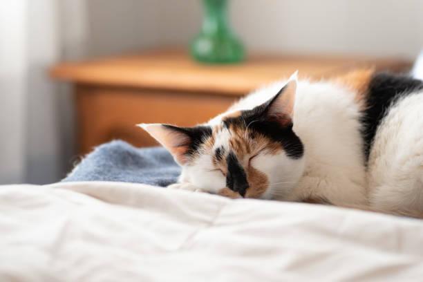 closeup of cat sleeping on the bed in warm sunlight - котик яркий стоковые фото и изображения