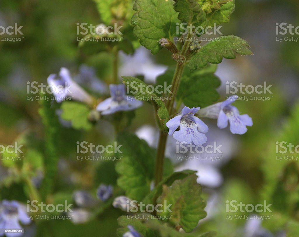Closeup of catsfoot flowers stock photo