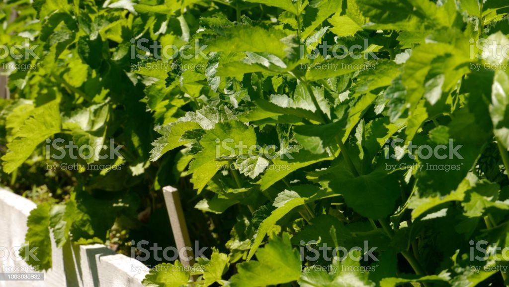 Close-up of celery plants growing in a garden stock photo