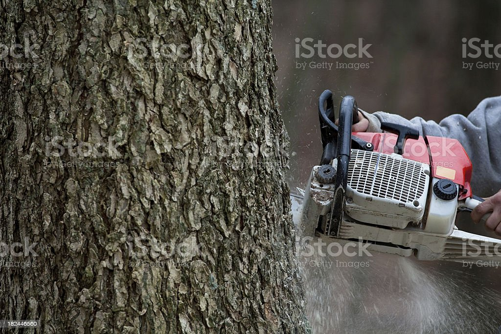 Close-up of chain saw cutting down a large ash tree royalty-free stock photo