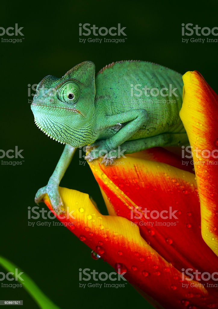 Close-up of chameleon resting on a red and yellow flower stock photo