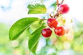 fresh ripe cherries on tree