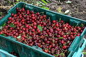 Close-up of Bing cherries (Prunus avium) harvested and boxed, in plastic harvest containers, ready for the next process in preparation for market.\n\nTaken in Hollister, California, USA