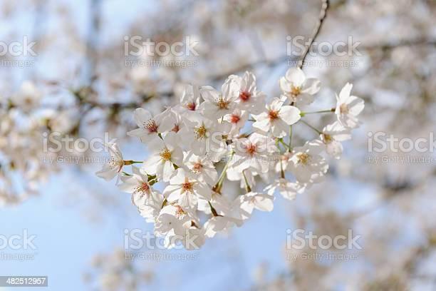 Closeup of cherry blossom of full bloom picture id482512957?b=1&k=6&m=482512957&s=612x612&h=vnv32lvjtuyptxkkmb4 erhtnc9efr0joapxwiacdtu=