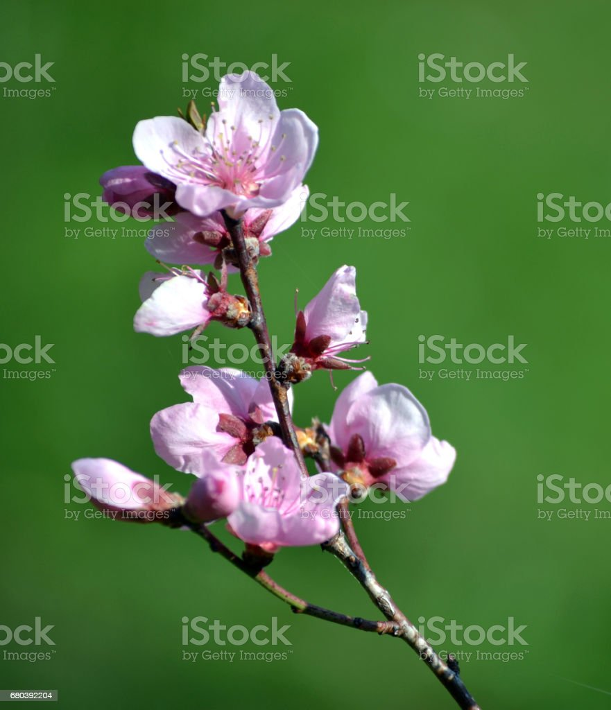 Close-up of  cherry blossoms against a  natural green background royalty-free stock photo