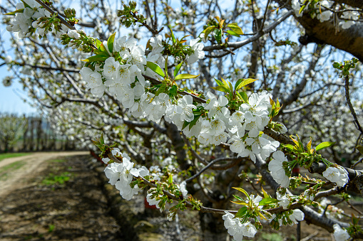 Close-up of Bing cherry blossoms on orchard trees opposite orchard road.\n\nTaken in Gilroy California, USA