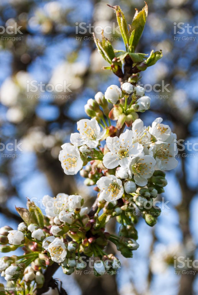 Closeup of cherry blossoms on the twig stock photo